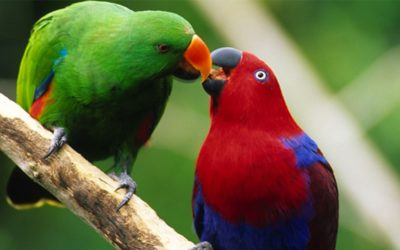 What do I feed my Eclectus Parrot?