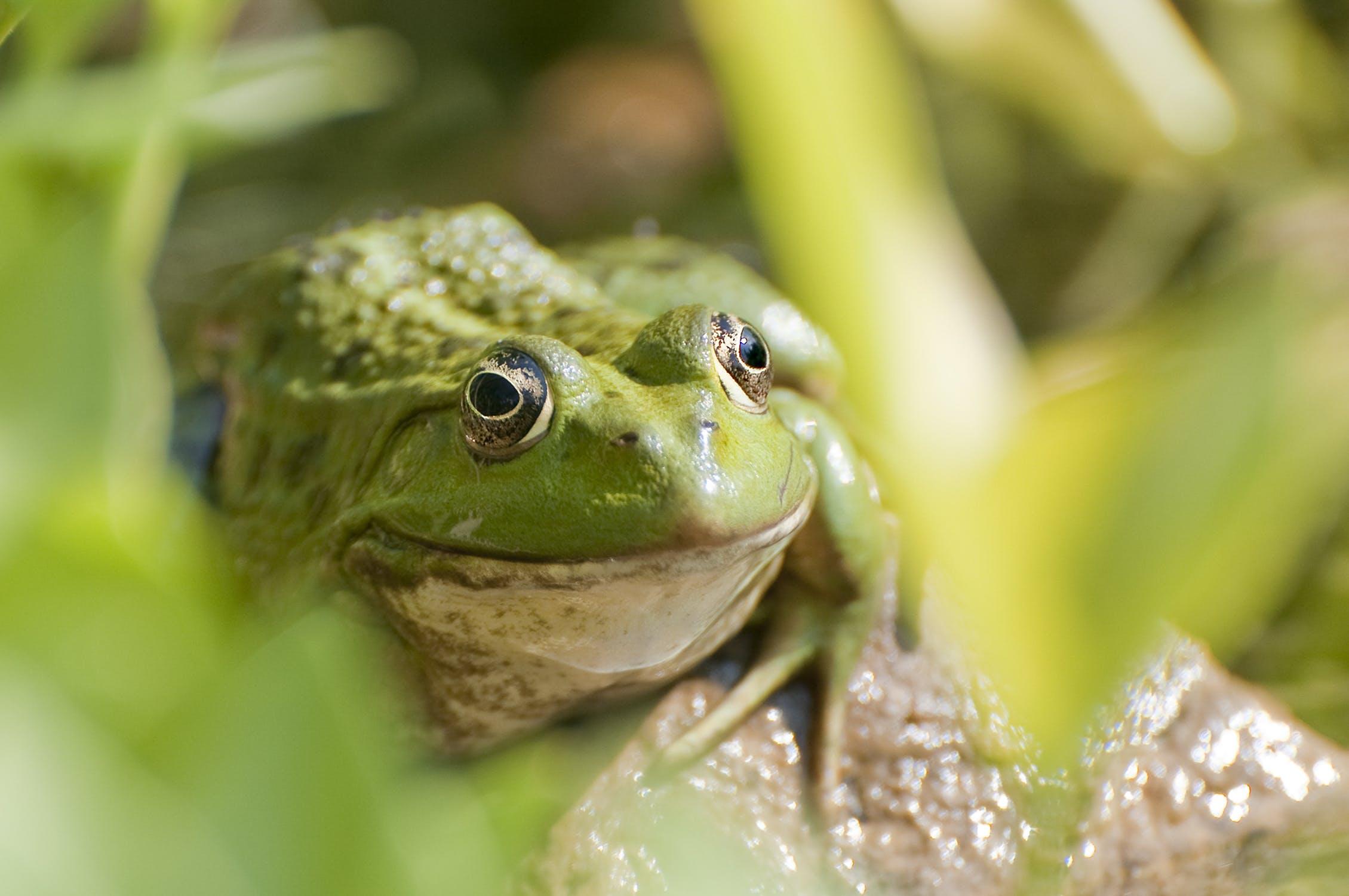 Sugarloaf-animal-hospital-frog